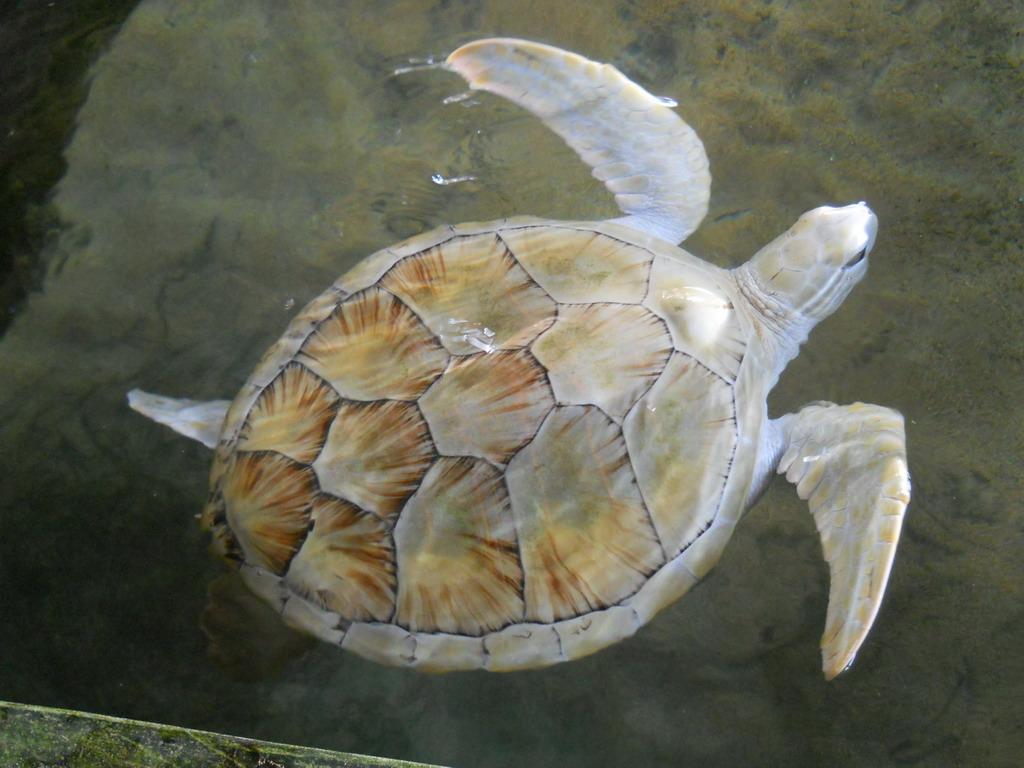 Крупная морская черепаха