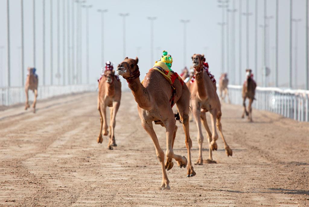 Каких только развлечений нет в ОАЭ! Например, здесь можно увидеть скачки верблюдов, которыми управляют жокеи-роботы